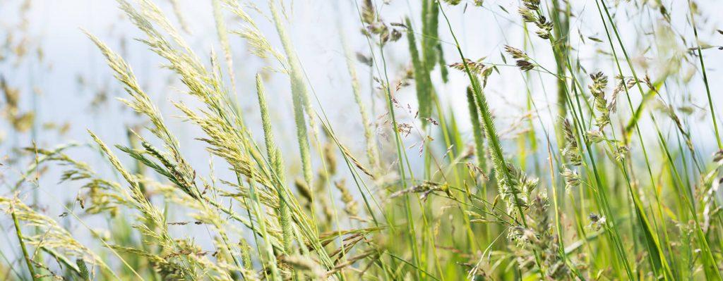 Allergien werden auch durch Gräser ausgelöst